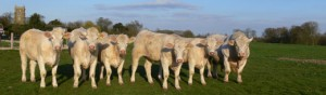 If you wish to start a Pedigree Charolais herd we can provide the necessary animals and advice.
